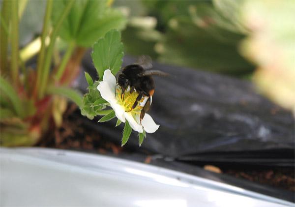 クロマルハナバチ雌成虫.jpg
