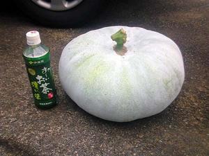 50cm冬瓜