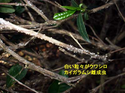 kuwashiro001.jpg