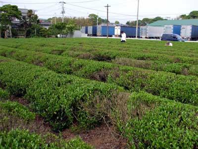 tea_growth_b.jpg